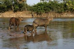 Capybara, Hydrochoerus hydrochaeris Royalty Free Stock Photography