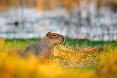 Capybara, Hydrochoerus hydrochaeris, größte Maus im Wasser mit Abendlicht während des Sonnenuntergangs, Pantanal, Brasilien Szene stockfotografie