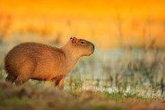 Capybara, Hydrochoerus hydrochaeris, größte Maus im Wasser mit Abendlicht während des Sonnenuntergangs, Pantanal, Brasilien Szene stockbilder