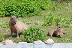 Capybara Royalty Free Stock Image