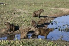 Capybara,  Hydrochoerus hydrochaeris Royalty Free Stock Images