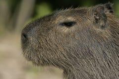 Capybara, Hydrochoerus hydrochaeris. Head shot, Brazil Royalty Free Stock Photography
