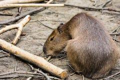 Capybara, Hydrochoerus hydrochaeris, the largest rodent Royalty Free Stock Image
