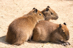 Capybara (Hydrochoerus hydrochaeris) is the largest rodent in th Stock Photography