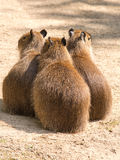 Capybara (Hydrochoerus hydrochaeris) is the largest rodent in th Stock Images