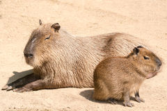 Capybara (Hydrochoerus hydrochaeris) is the largest rodent in th Stock Image