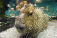 Capybara. Hydrochoerus hydrochaeris is the largest rodent in the world, here in aquarium Royalty Free Stock Image