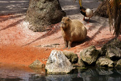 Capybara (Hydrochoerus hydrochaeris) Stock Photography