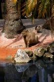 Capybara (Hydrochoerus hydrochaeris) Royalty Free Stock Photography