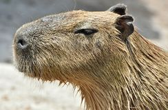 Capybara Hydrochoerus hydrochaeris. The Capybara Hydrochoerus hydrochaeris, native to South America is the largest rodent in the world Stock Photography