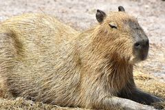 Capybara Hydrochoerus hydrochaeris. The Capybara Hydrochoerus hydrochaeris, native to South America is the largest rodent in the world Royalty Free Stock Images