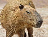 Capybara Hydrochoerus hydrochaeris. The Capybara Hydrochoerus hydrochaeris, native to South America is the largest rodent in the world Royalty Free Stock Image