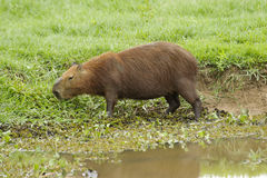 Capybara (Hydrochoerus hydrochaeris) Stock Image