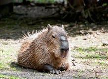 Capybara (Hydrochoerus hydrochaeris) Stock Photos