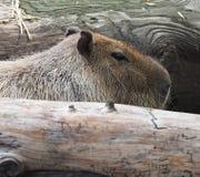 Capybara Or Hydrochoerus Hydrochaeris. Resting between wooden logs Stock Photo