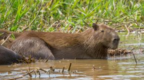 Capybara. Hydrochoerus hydrochaeris Stock Photo