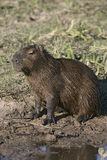 Capybara,  Hydrochoerus hydrochaeris Royalty Free Stock Photo