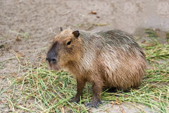 Capybara Hydrochoerus hydrochaeris sitting on the grass ground.  Stock Photo