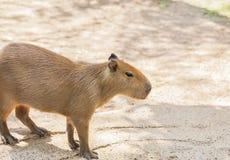 Capybara  hydrochoerus hydrochaeris. Standing  in nature Royalty Free Stock Photo