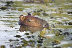 Capybara (Hydrochoerus hydrochaeris) Royalty Free Stock Images