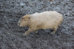 Capybara - Hydrochoerus hydrochaeris Stock Image