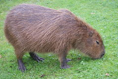 Capybara - Hydrochoerus hydrochaeris Royalty Free Stock Photo