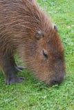 Capybara - Hydrochoerus hydrochaeris Royalty Free Stock Image