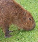 Capybara - Hydrochoerus hydrochaeris Royalty Free Stock Photography