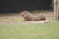 Capybara - Hydrochoerus hydrochaeris Royalty Free Stock Photos