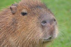 Capybara - Hydrochoerus hydrochaeris Royalty Free Stock Images
