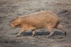 Capybara (Hydrochoerus hydrochaeris). Wild life animal Royalty Free Stock Images