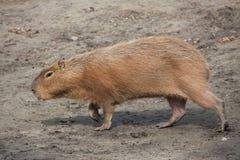 Capybara (Hydrochoerus hydrochaeris). Wild life animal Stock Photo