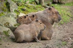 Capybara Hydrochoerus hydrochaeris. Wildlife animal Stock Photography