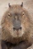 Capybara Hydrochoerus hydrochaeris. Wildlife animal Royalty Free Stock Images