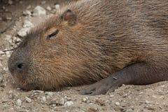 Capybara Hydrochoerus hydrochaeris. Wildlife animal Stock Photo