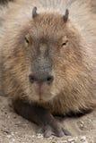 Capybara Hydrochoerus hydrochaeris. Wildlife animal Royalty Free Stock Image