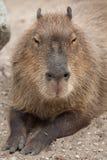 Capybara Hydrochoerus hydrochaeris. Wildlife animal Stock Images