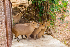 Capybara hydrochoerus hydrochaeris. In the zoo Stock Photos