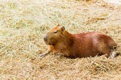 Capybara hydrochoerus hydrochaeris. In the zoo Royalty Free Stock Photos