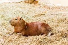 Capybara hydrochoerus hydrochaeris. Capybara hydrochoerus hydrochaeris in the zoo Royalty Free Stock Photography