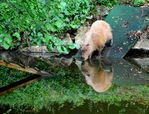 Capybara, Hydrochoerus hydrochaeris, in ZOO. Capybara, Hydrochoerus hydrochaeris. Animal drinking water. In the pond is reflection of Capybara. It is the largest stock photo