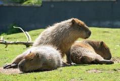 Capybara-/Hydrochoerushydrochaeris Royaltyfria Bilder