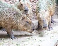 Capybara (Hydrochoerushydrochaeris) Fotografering för Bildbyråer