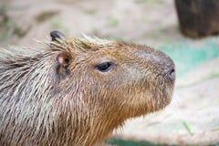 Capybara (Hydrochoerushydrochaeris) Royaltyfri Fotografi