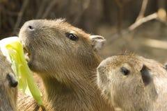 Capybara i safari Royaltyfri Fotografi