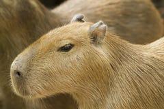Capybara i zoo Arkivbild