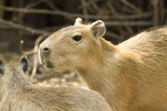 Capybara i zoo Royaltyfri Bild