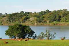 Capybara in iguassu/Brazilië en Paraguay van Itaipu Binational Royalty-vrije Stock Foto's