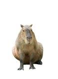 Capybara isolated Stock Photos