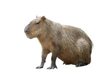 Capybara isolated Stock Photos